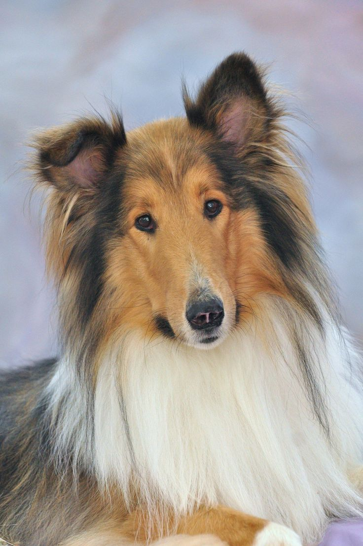 Rough Collie we are dog loveRs in my family alot of dogs.