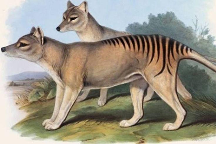 Tigre-da-tasmânia