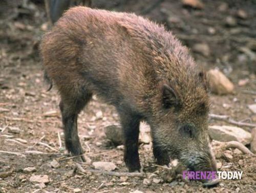 Toscana: #Ungulati: #caccia #autorizzata 5 giorni a settimana (link: http://ift.tt/29aayJh )