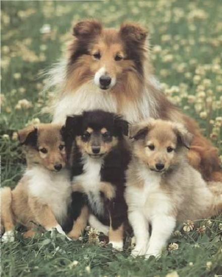 Sheltie and pups. love them with all my heart. and i will have one!