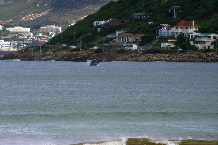 Google Image Result for http://www.vanielje.com/blog/wp-content/uploads/2009/06/whale-in-false-bay.jpg