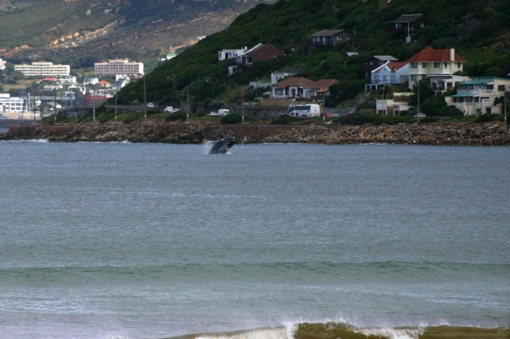 Google Image Result for http://www.vanielje.com/blog/wp-content/uploads/2009/06/whale-in-false-bay.jpg