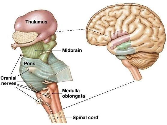 brain thalamus function - photo #47