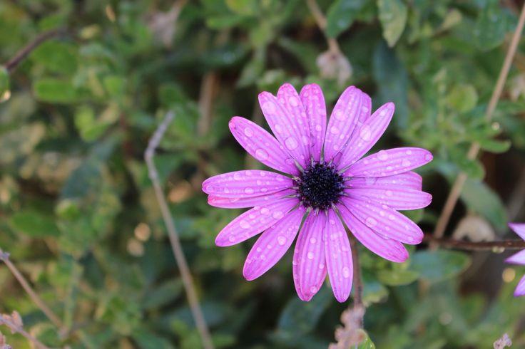 Flor purpura con gotitas de agua...