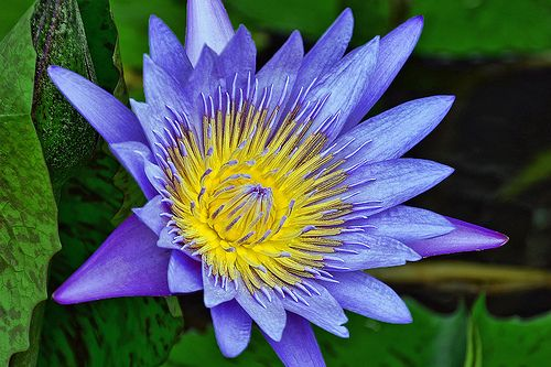 Water-Lily [Nymphaea species] - Flickr - Photo Sharing!