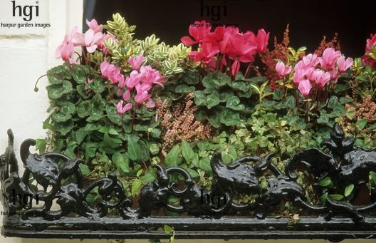 45 best images about autumn balcony on pinterest ivy - Winter flowers for balcony ...