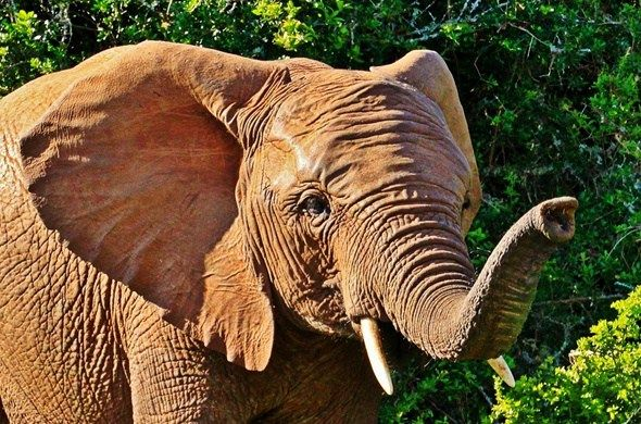 See magnificent elephants at Addo National Park