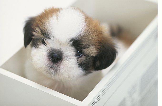 Find Out More On Energetic Shih Tzu Puppies Size Shihtzumix Minishitzu Shihtzufunny With Images Shih Tzu Puppy Shih Tzu Puppies