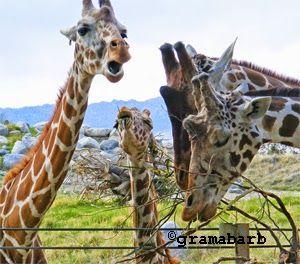 The #Giraffe Story