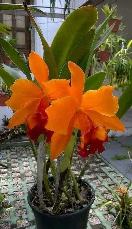 Linda🌞tarde. E uma bela orquídea. - Zenilde Pessoa Pessoa - Google+