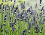 9 Herbs and Plants That Will Lower Your Blood Pressure Naturally - Lavendar