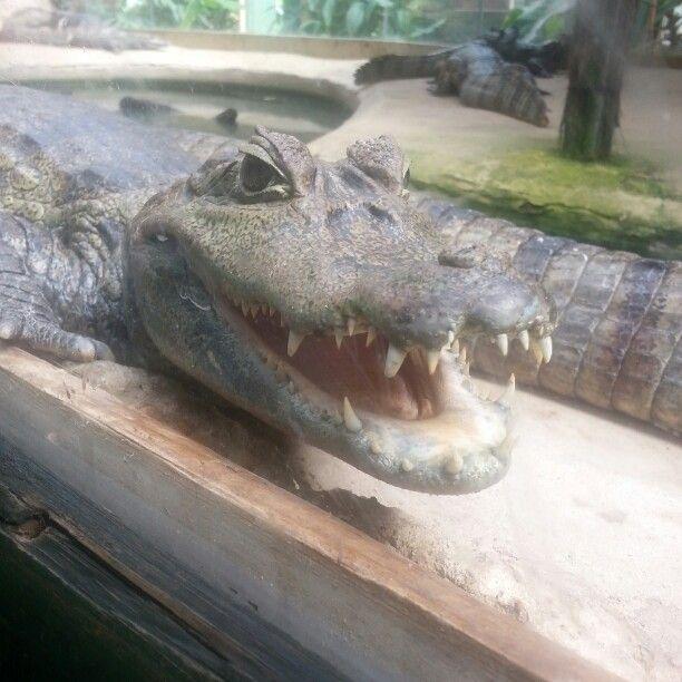 Crocodile from zoo