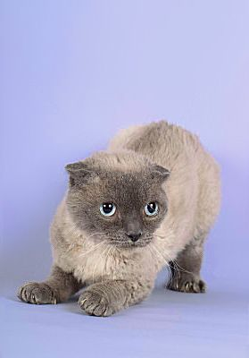 POODLE CAT (Pudelkatze) developed from crossings between Devon Rexes and Scottish Folds in 1987 (a date of 1994 is also given) by German Scottish Fold breeder Rosemarie Wolff in Starnberg, Germany.  It is a large, healthy cat with folded ears and a curly coat resembling lambswool. It is chunkier than the Devon Rex and has a denser coat. http://cat.mau.ru/abc/?p=pdc | http://pictures-of-cats.org/Poodle-Cat.html