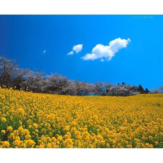 【mary_angel33】さんのInstagramをピンしています。 《Cherry Blossom & flower of canola 桜と菜の花 マザー牧場 千葉  Mother Farm,Chiba  #japan_art_photography #nature #natural #naturelovers #nature_perfection #naturalbeauty #natureshots #naturephotography  #cherryblossom #マザー牧場 #桜 #菜の花 #naturephoto #naturelover》