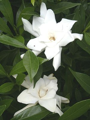 White fragrant flower of 'Frostproof' Gardenia