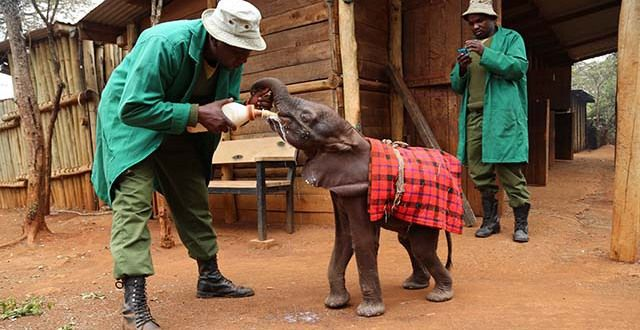 Feed and Care for Orphaned Baby Elephants With the David Sheldrick Wildlife Trust