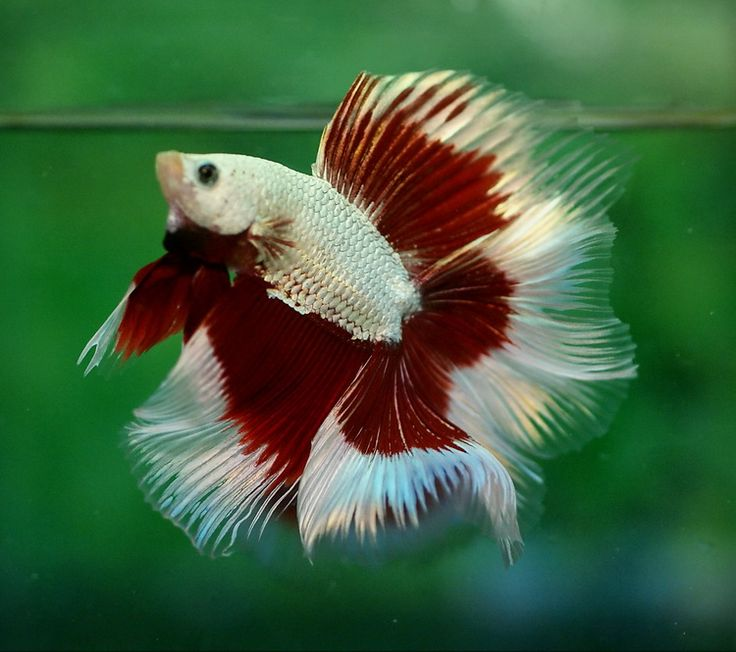 Platinum red dragon butterfly doubletail fancy bettas for Buy betta fish