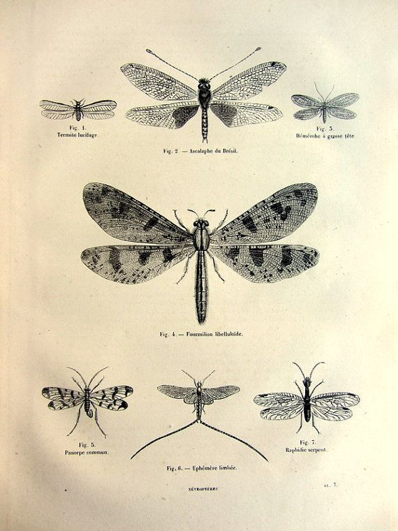 1860 antique dragonflies print original odonata damselflies engraving insect mayflies plate. Black Bedroom Furniture Sets. Home Design Ideas