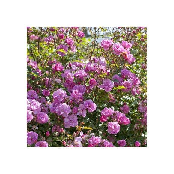 Les 25 meilleures id es de la cat gorie rosier couvre sol sur pinterest couvre comment - Rosier en pot soleil ...