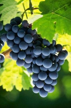 #GrapeSeedExtract- Cure of many diseases !  • Helps to reduce stress and hypertension • Control blood pressure • Helps reduce cholesterol • Good for the Heart • Protects from many types of cancers • Effective in pain and inflammation. • Help the liver to detoxify  • Stimulates vascular endothelial and helps in healing of wounds and other skin diseases • Good for teeth and gums  • Strengthens bones