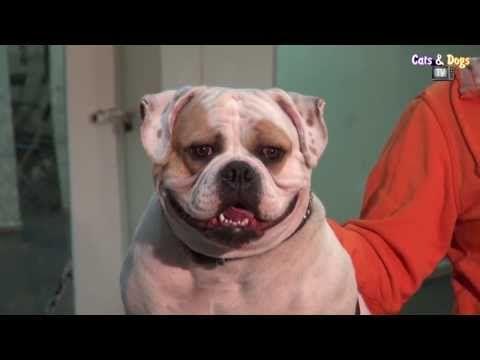 Cats&DogsTV -УДИВИТЕЛЬНЫЙ МИР СОБАК - АМЕРИКАНСКИЙ БУЛЬДОГ / AMERICAN BULLDOG - YouTube