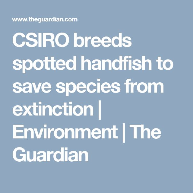 CSIRO breeds spotted handfish to save species from extinction   Environment   The Guardian