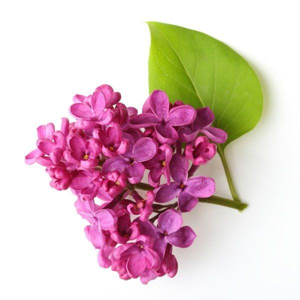 Lilak pospolity - Syringa vulgaris