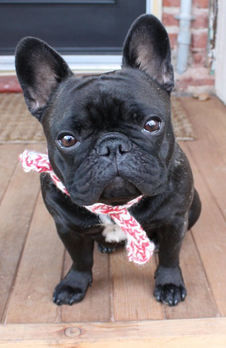 25 best french bulldog pictures ideas on pinterest pictures of french bull. Black Bedroom Furniture Sets. Home Design Ideas