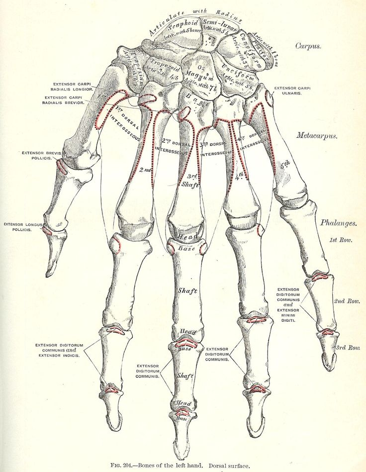 Printable Antique Graphics - {1893 Gray's Anatomy Illustrations} - Great for Halloween!
