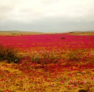 desierto florido, desierto de san pedro de atacama, tercera region
