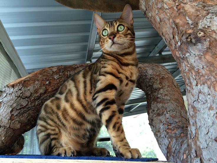 Bengal cat Zeus just sittin thinkin