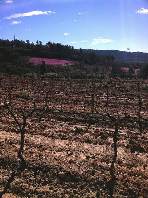 El contrast dels presseguers florits amb la vinya #Subirats #CapitaldelaVinya #Enoturisme #Penedes