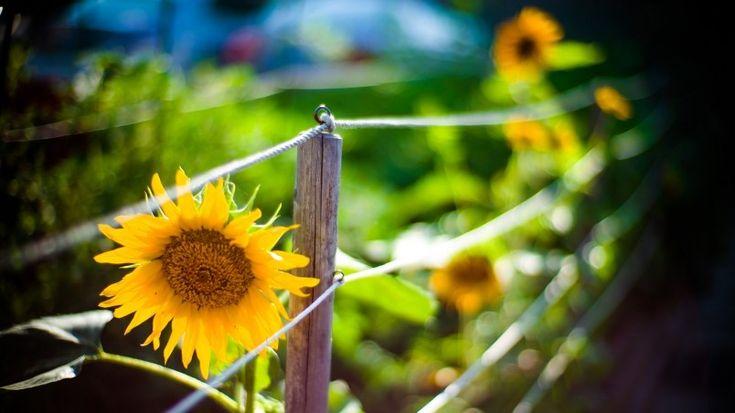 Sunflower Garden Wallpaper