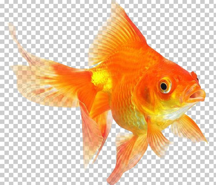 Ryukin Comet Red Cap Oranda Common Goldfish Desktop Png Common Goldfish Goldfish Fish