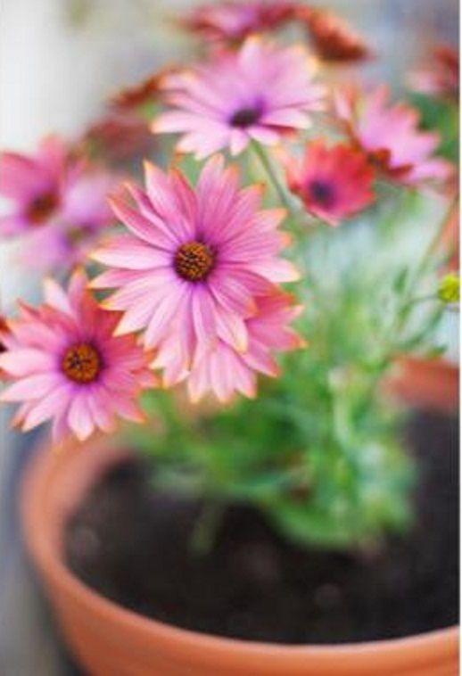 GERBERA DAISY (Gerbera jamesonii) - Best Indoor Plants for Cleaning the Air.
