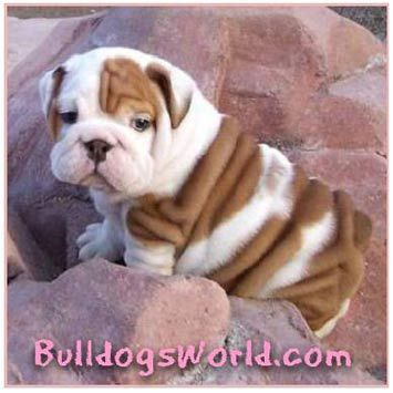 Wonderful English Bulldog Chubby Adorable Dog - dfd9e5aba45794b071c22ce43f7ff996--baby-english-bulldogs-cute-bulldogs  Picture_6110067  .jpg
