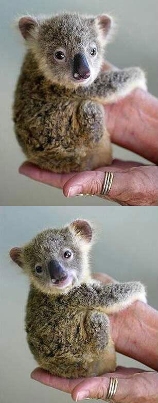 Previous Pinner Comment: baby koala...He needs his momma. My first born daughter was almost his size when she was born.