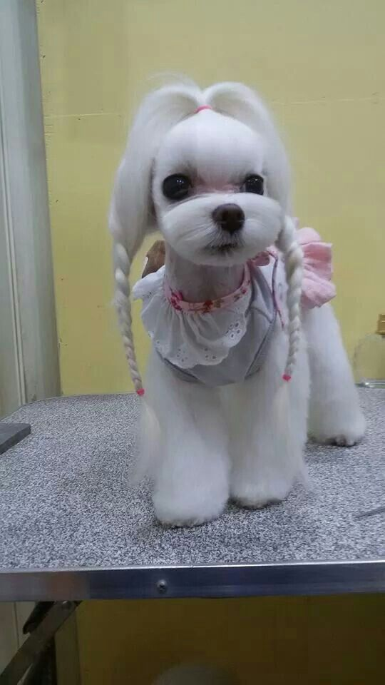 Maltese Hairstyles For Dogs | galleryhip.com - The Hippest Galleries!