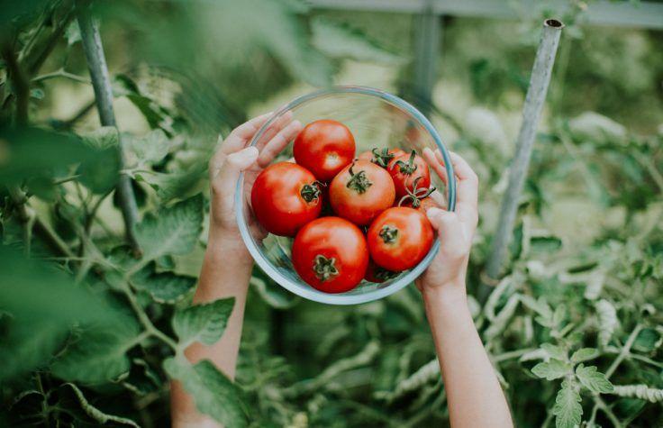 Comment Planter Des Graines De Tomates