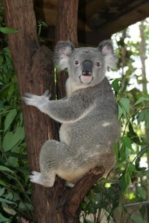 A changing climate means that by 2070 koalas may no longer call large parts of inland Australia home, researchers have found.