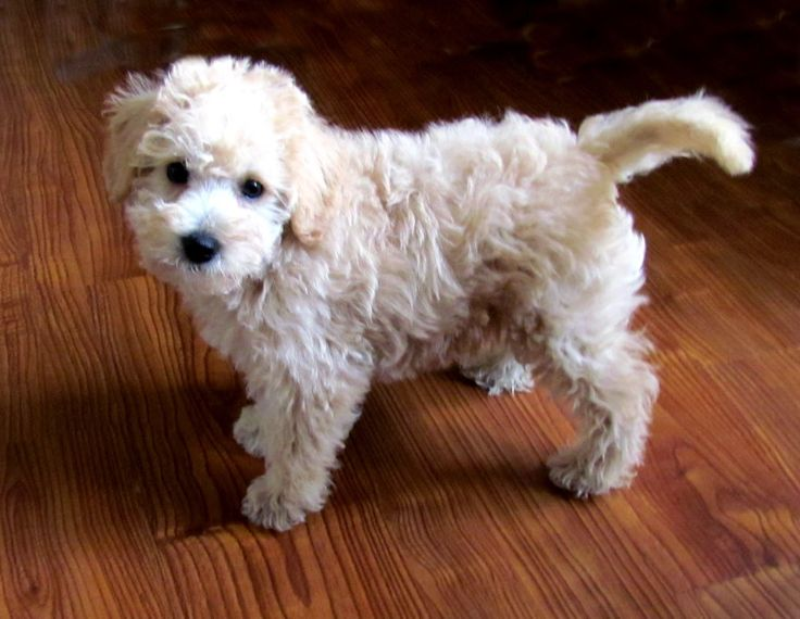 An 8 week old Apricot Schnoodle from Growing puppies. So