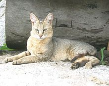 """The jungle cat (Felis chaus) is a medium-sized cat native to Asia from southern China in the east through Southeast and Central Asia to the Nile Valley in the west. Weight ranges 6 to 35 lbs.  Cat breeders have been able to hybridize jungle cats with certain domestic cats, producing such breeds as the """"chausie"""" (Jungle cat × domestic cat) and the """"jungle bob"""" (Jungle cat x pixie bob)."""