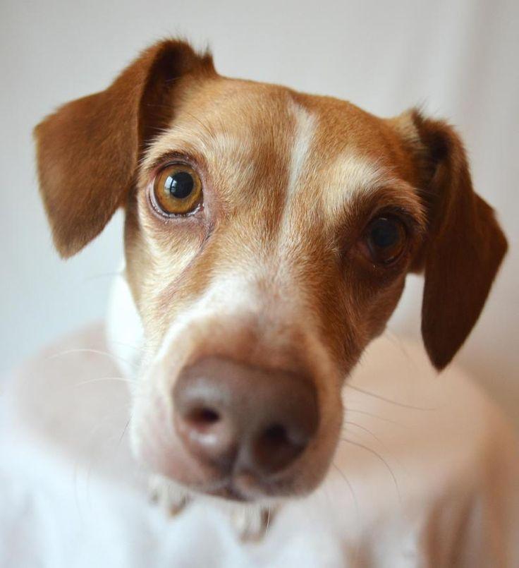 Adopt Cherry on Pet adoption center, Terrier mix dogs