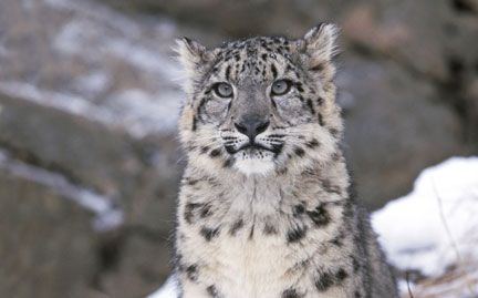 There is only 6,000 snow leopards in the wild across 12 countries and the number is declining alarmingly due to hunting and habitat loss