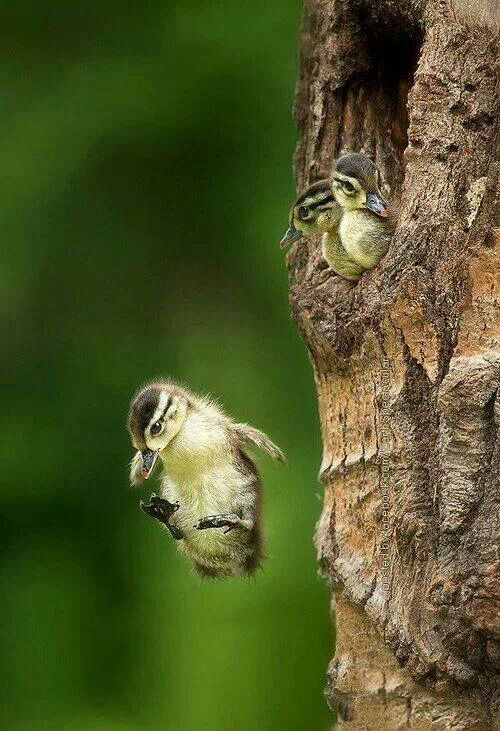 Wood Ducks leaving the nest - bravest babies ever