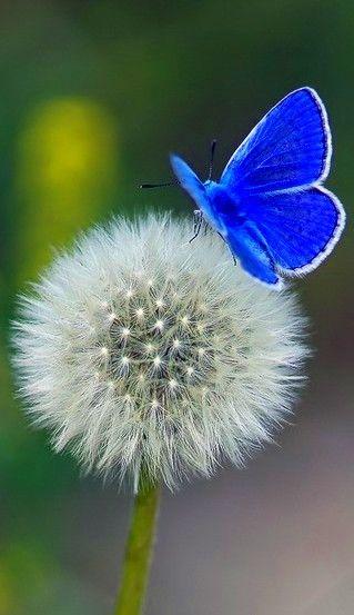 lovely blue butterfly resting on a delicate dandelion