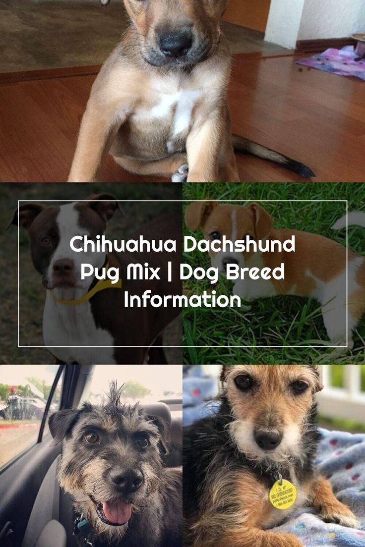 Chihuahua dachshund pug mix dog breed information in