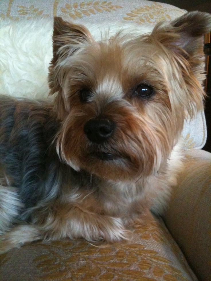 Silky terrier with a new doo!
