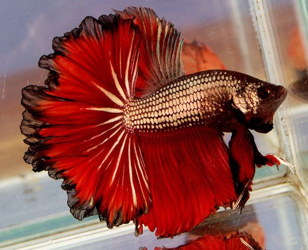 318 best betta fish images on pinterest betta fish for Beta fish water