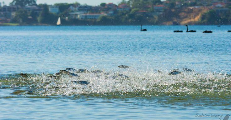 A school of leaping fish in Australia is a stunning sight. http://mashable.com/2016/03/02/flying-fish-australia/?utm_cid=mash-prod-nav-sub-st